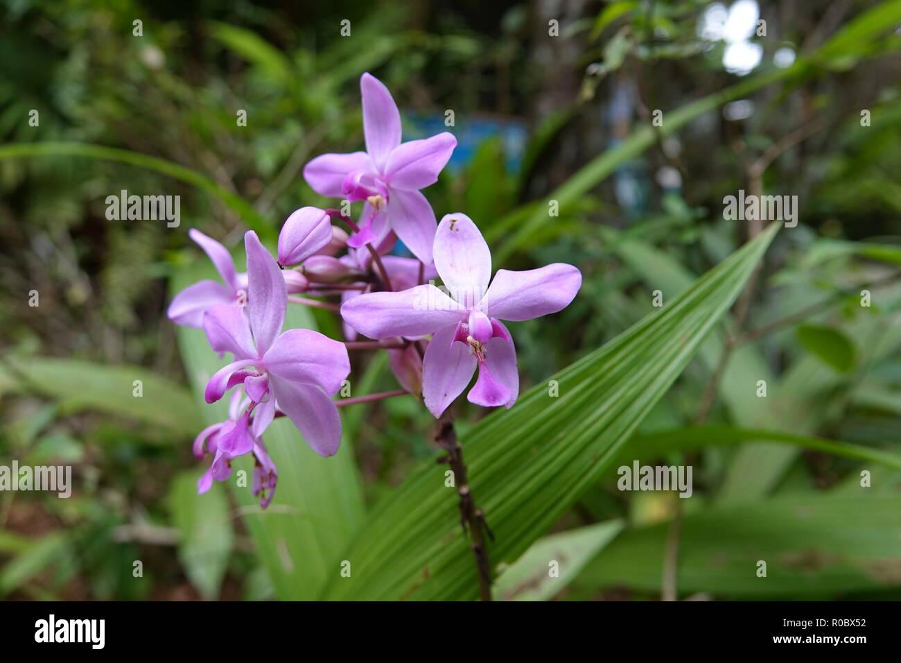 Orange ground orchid 3 Bulb Spathoglottis plicata orchid Flower orchid Plant