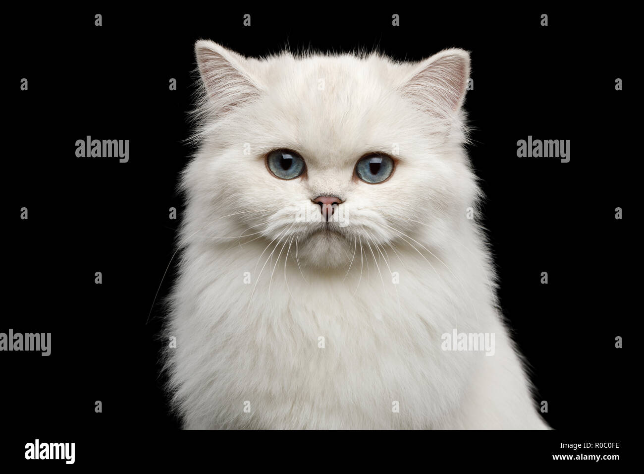 Portrait of British breed Cat, Pure White color with Blue eyes, looking in Camera on Isolated Black Background, front view - Stock Image