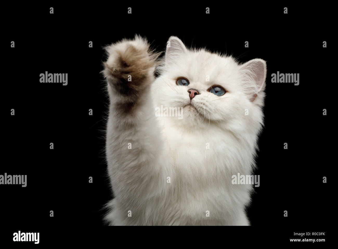 Portrait of Furry British breed Cat White color with Blue eyes, Raising paw on Isolated Black Background, front view - Stock Image