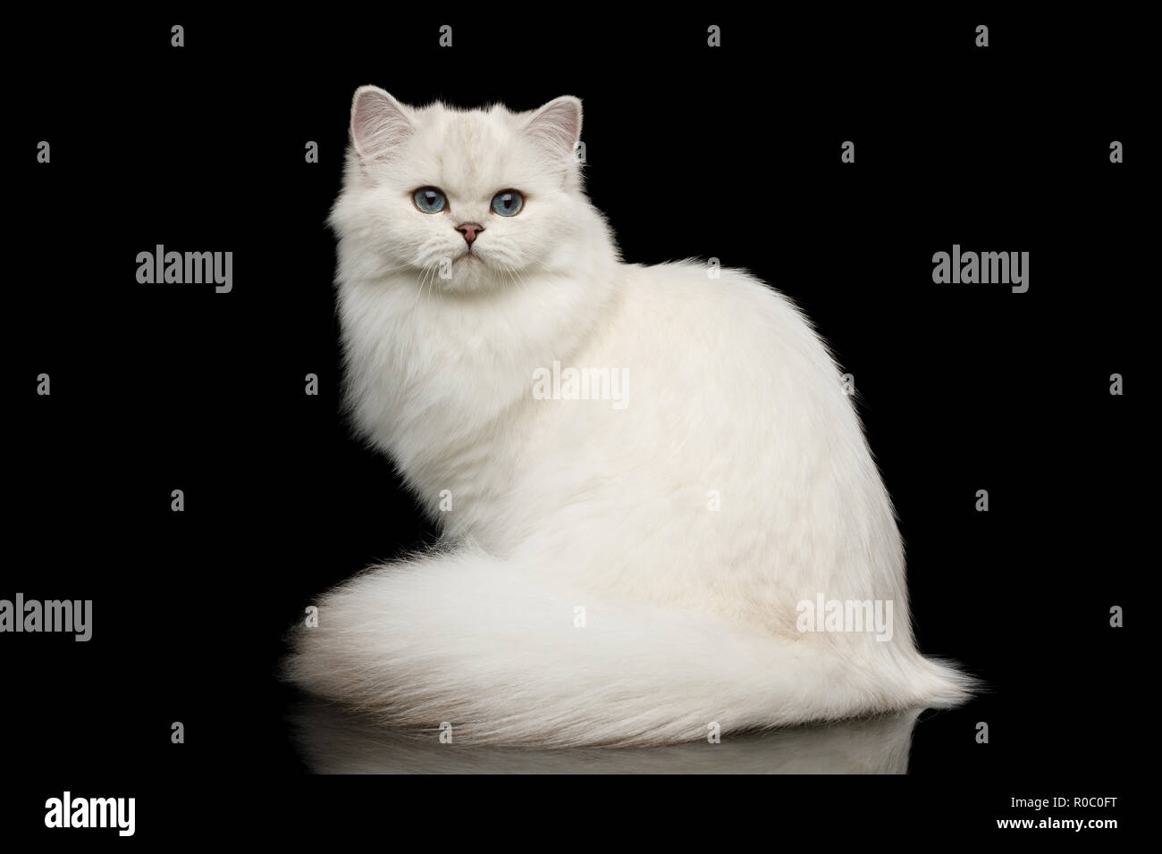 Adorable British breed Cat White color with Blue eyes, Sitting and looking in Camera on Isolated Black Background, front view - Stock Image