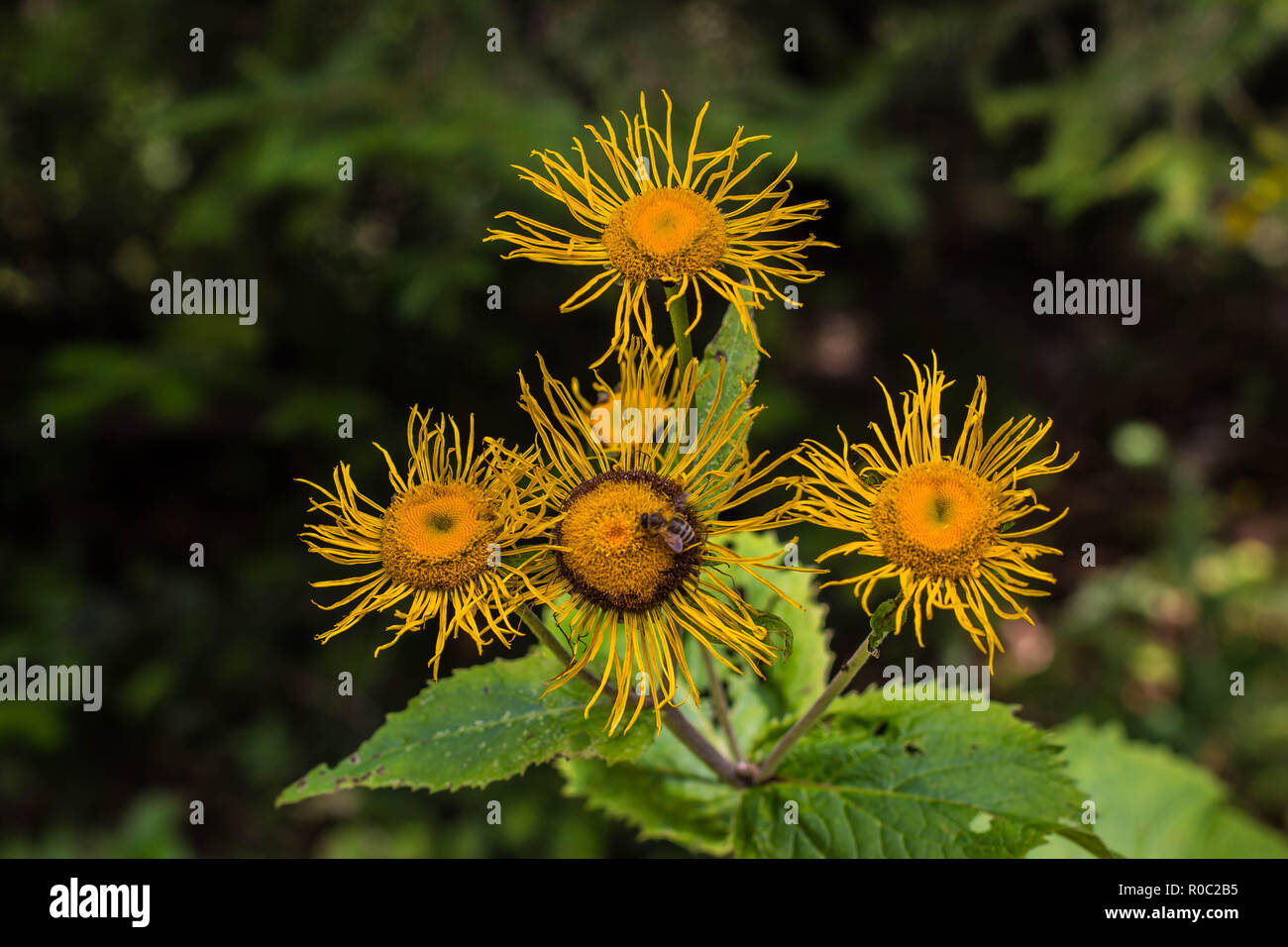 Yellow flowers of wild species heartleaf Oxeye / Telekia speciosa on the Tara mountain in Serbia Stock Photo