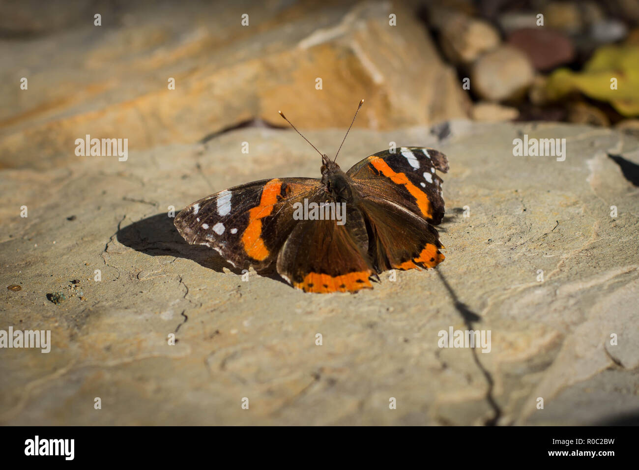 Single isolated butterfly red admiral / Vanessa atalanta sunbathing Stock Photo
