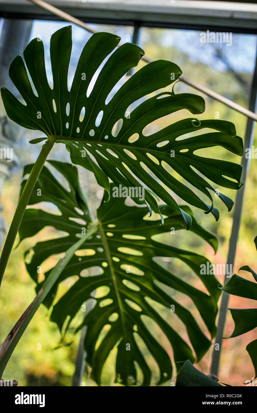Leaves of Monstera deliciosa in green house in Botanical garden Jevremovac, Belgrade, Serbia - Stock Image