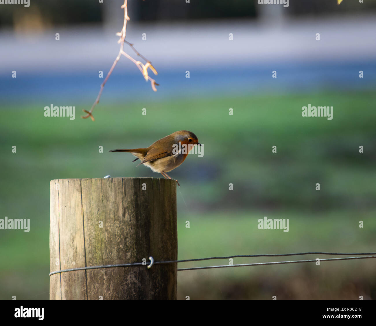 Small robin on fence post, Lyndhurst, New forest, hampshire, UK - Stock Image