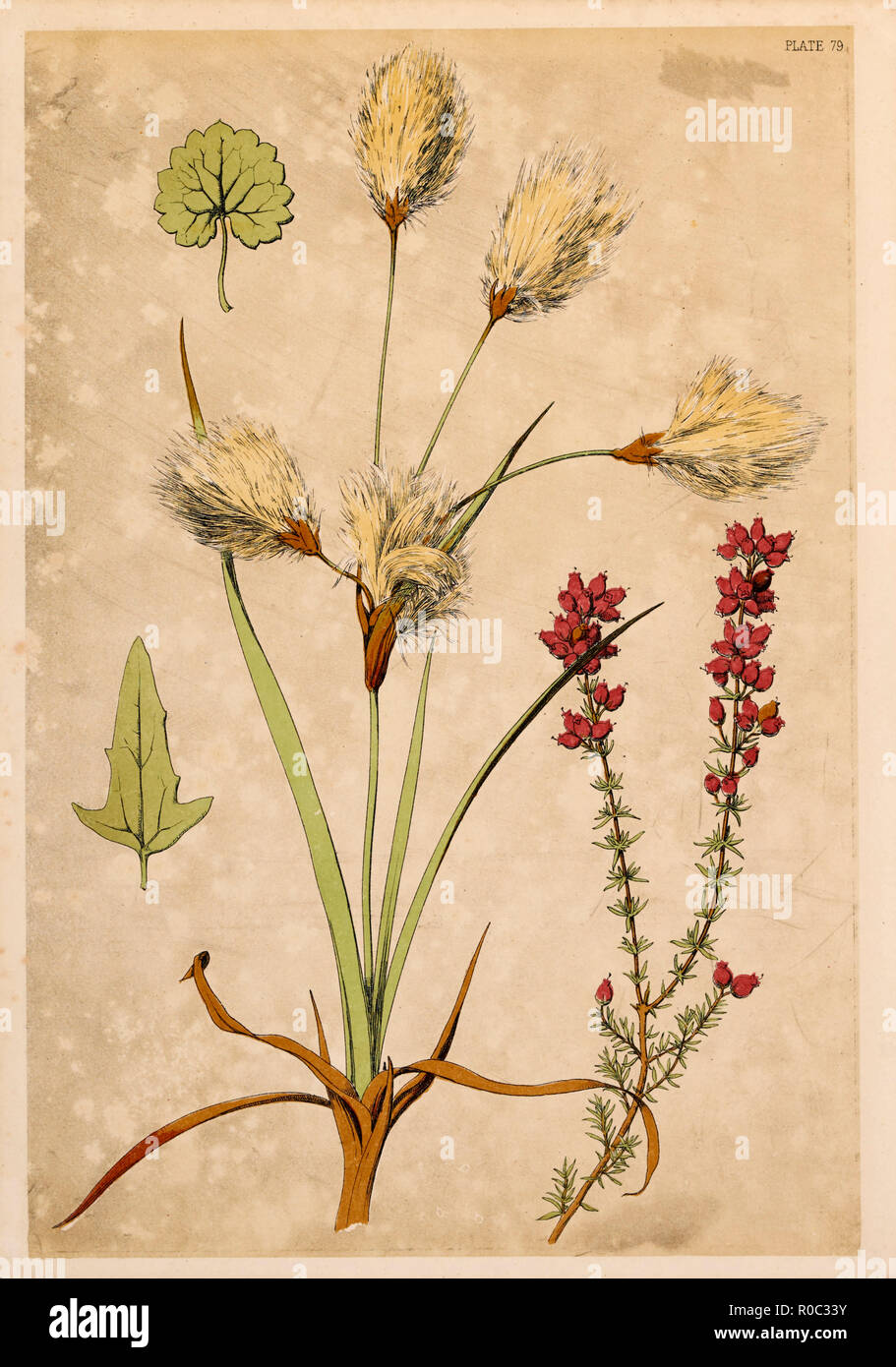Cotton Grass and Fine Heath, Chromolithograph, 1868 - Stock Image