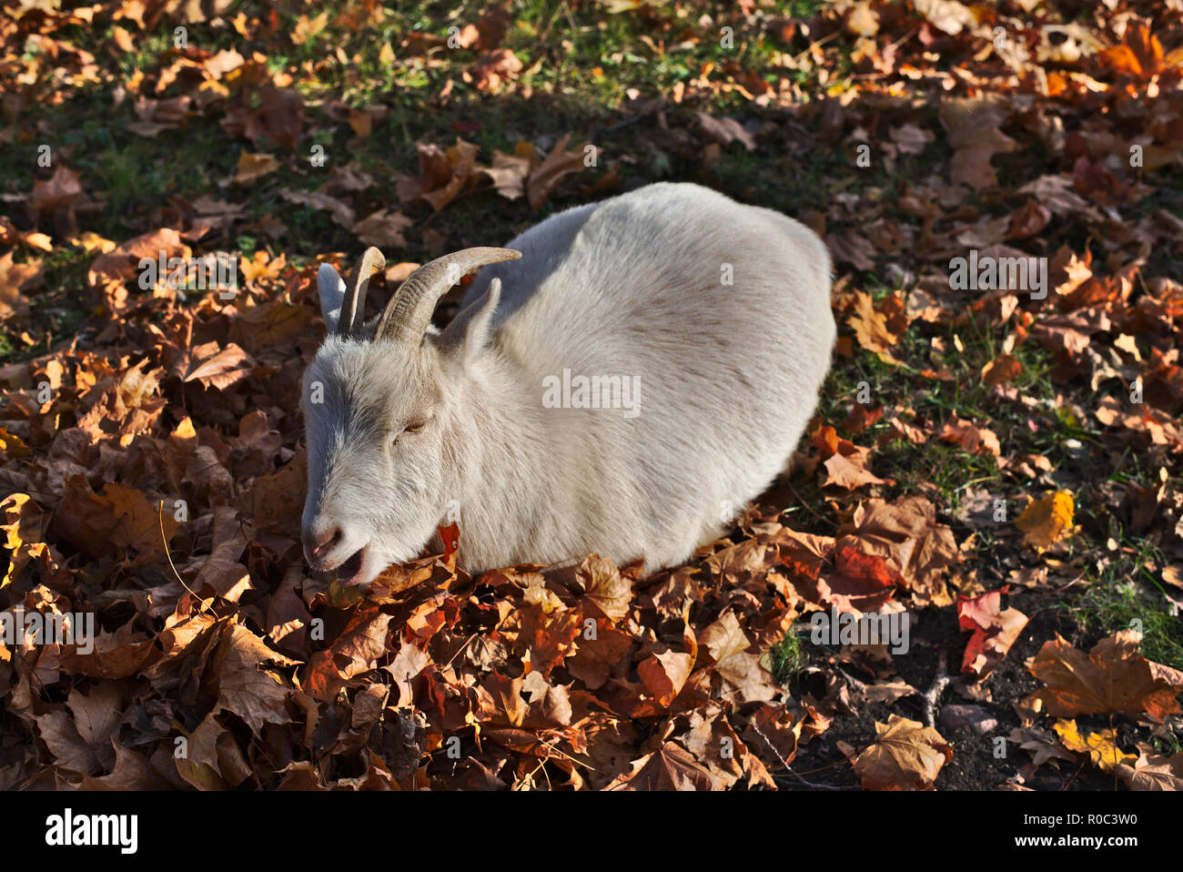 Goat in the Swedish town. - Stock Image