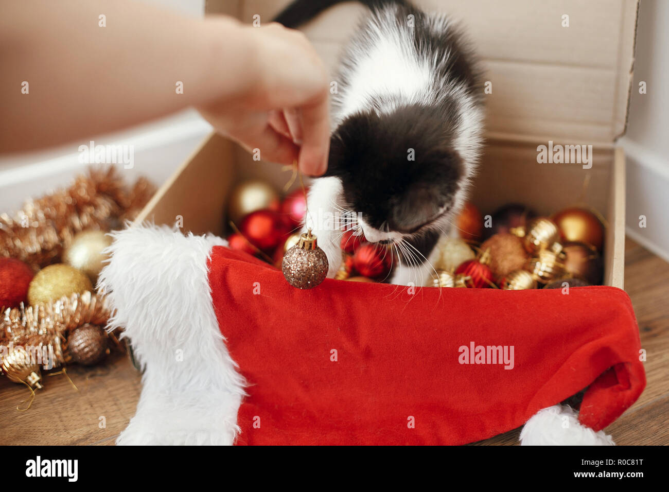 Hand playing with cute kitty at box with red and gold baubles, ornaments and santa hat under christmas tree in festive room. Merry Christmas concept.  Stock Photo