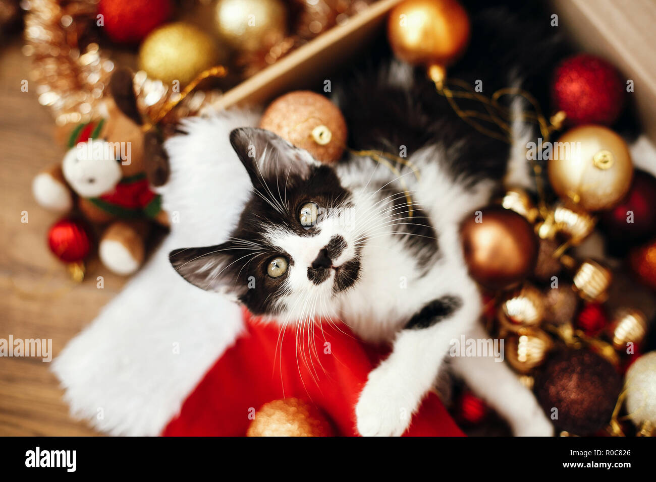 Cute kitty sitting in box with red and gold baubles, ornaments and santa hat under christmas tree in festive room. Merry Christmas concept. Adorable f Stock Photo