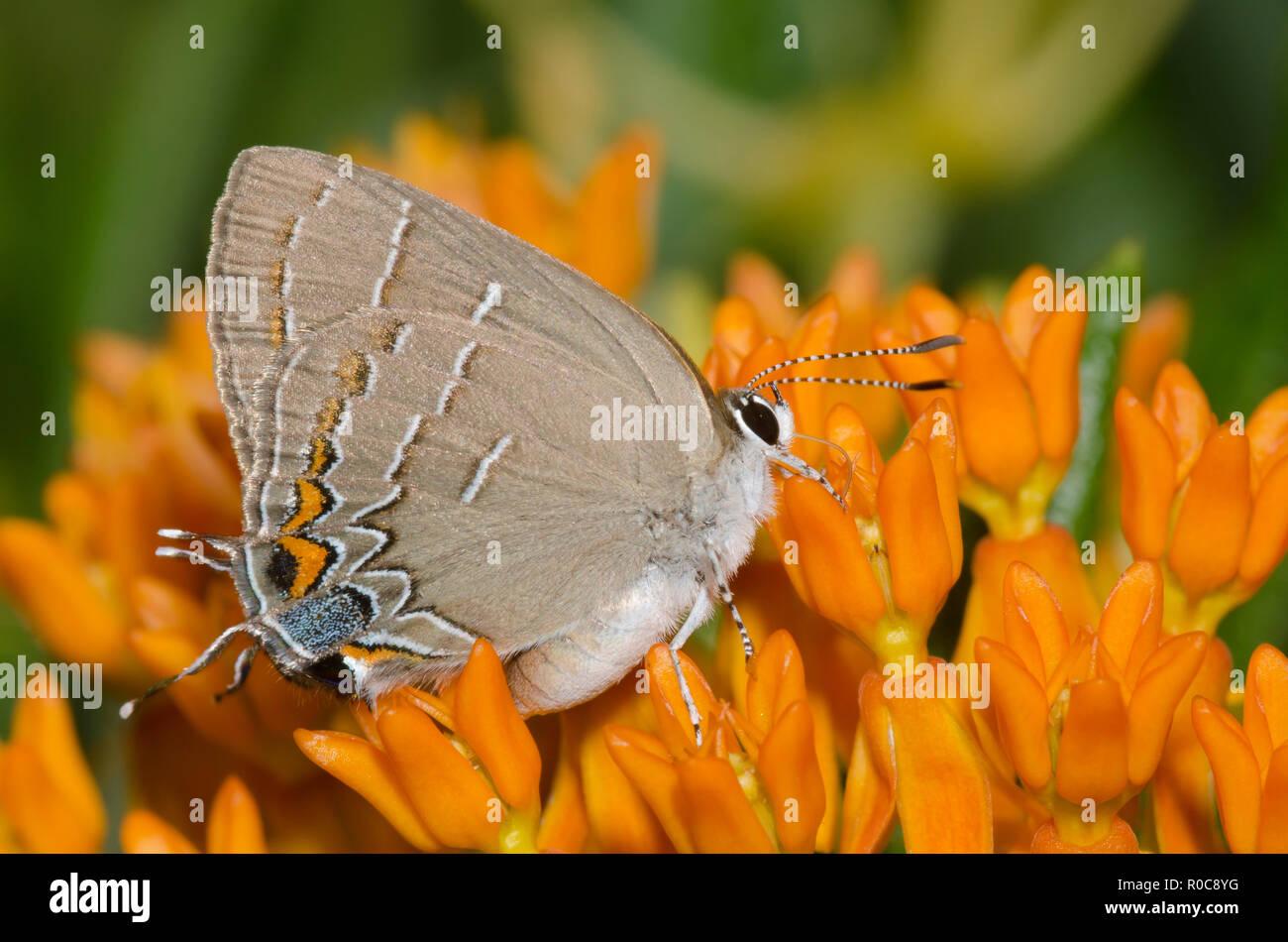 Soapberry Hairstreak, Phaeostrymon alcestis, nectaring from orange milkweed, Asclepias tuberosa - Stock Image