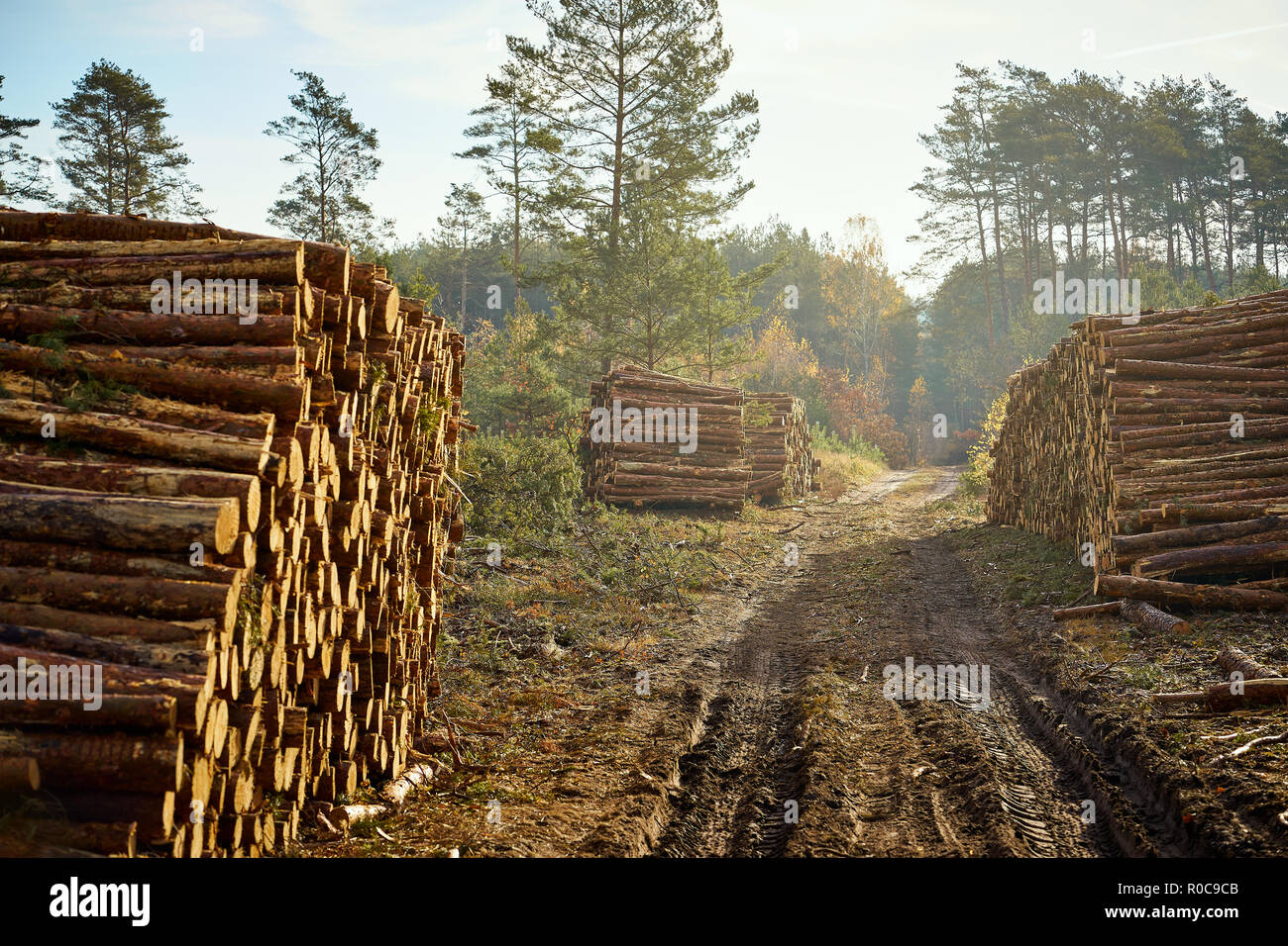 beams from a felled tree stacked on a large pile in an
