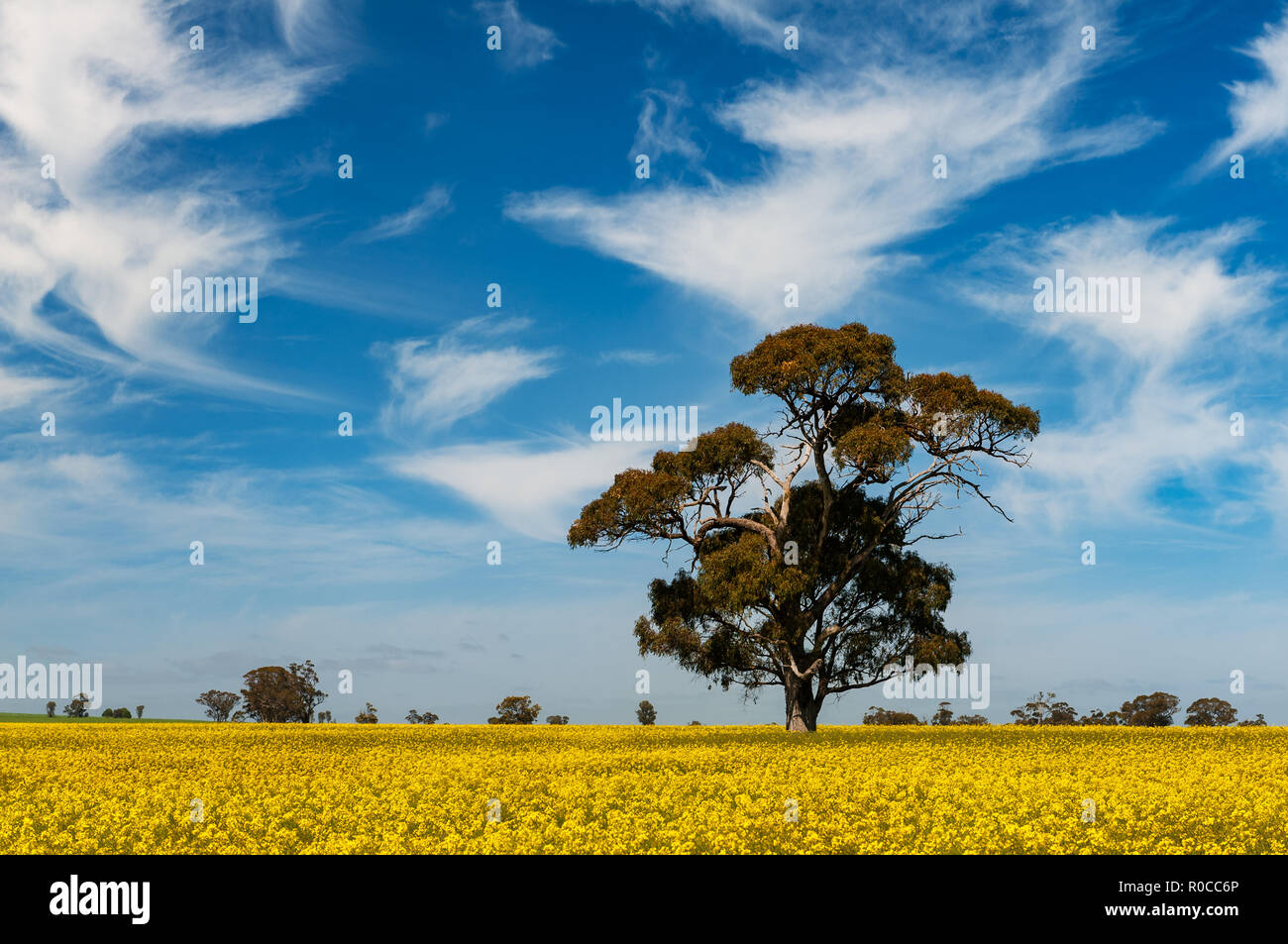 Huge gum tree in a canola field. Stock Photo