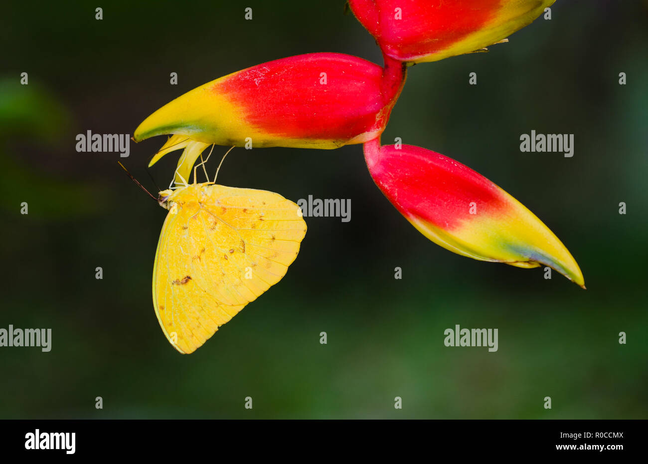 Yellow butterfly macro close-up sitting upside down on the hanging tropical flower Heliconia (Heliconia pendula) against a green out of focus backgrou - Stock Image