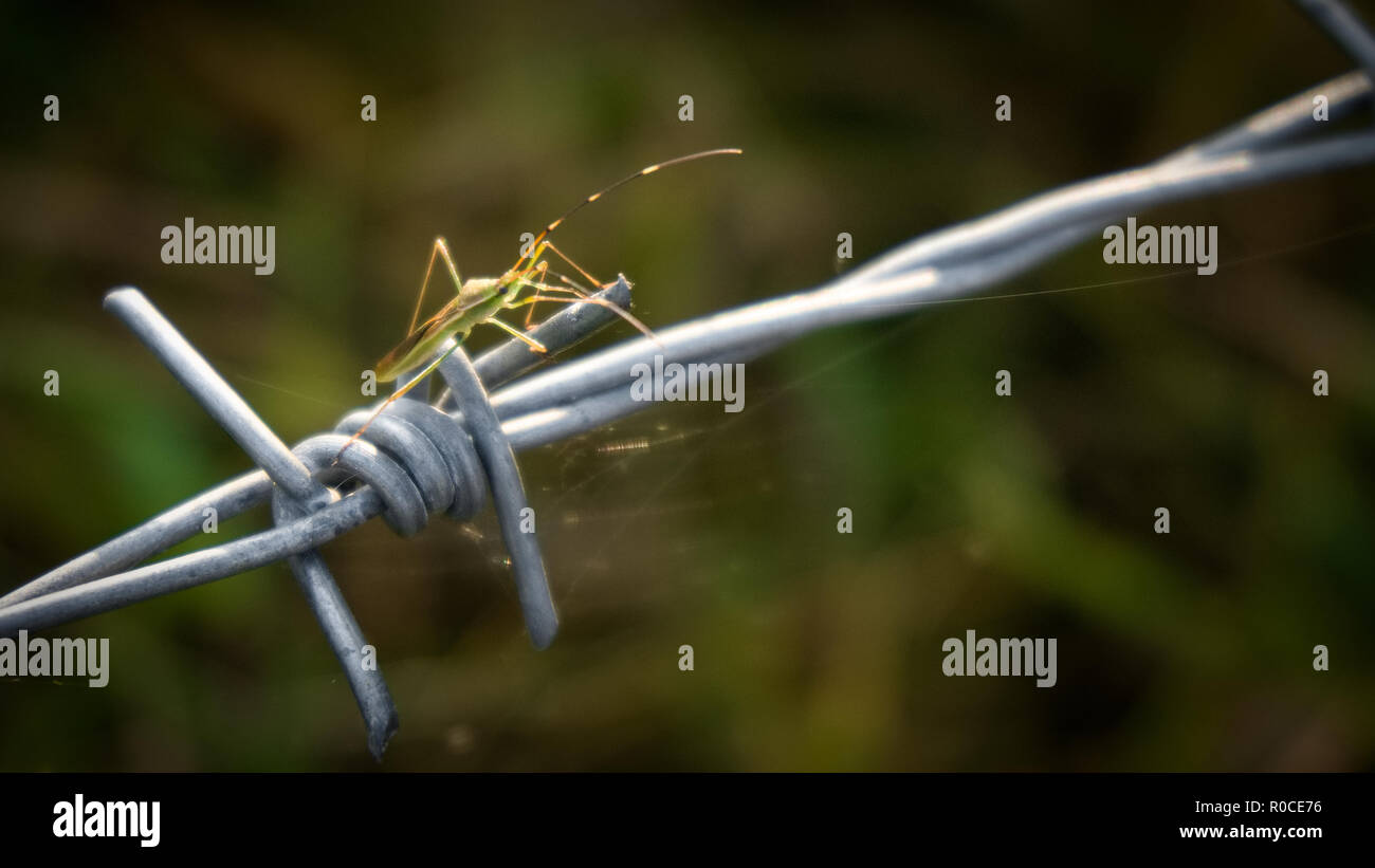 Close-up barbed wire , the insect is on barbed wire. - Stock Image
