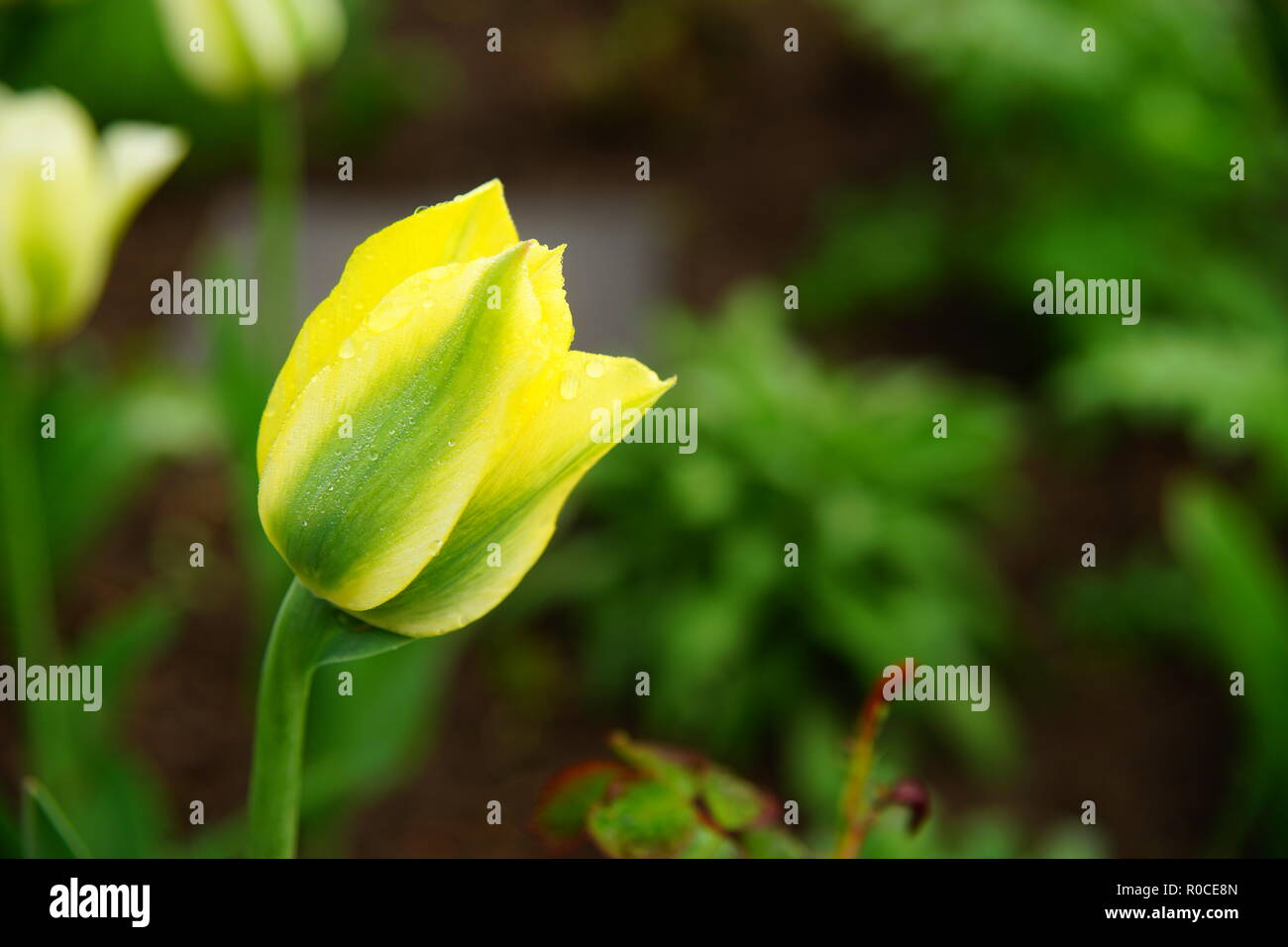 Yellow Tulipan Stock Photo