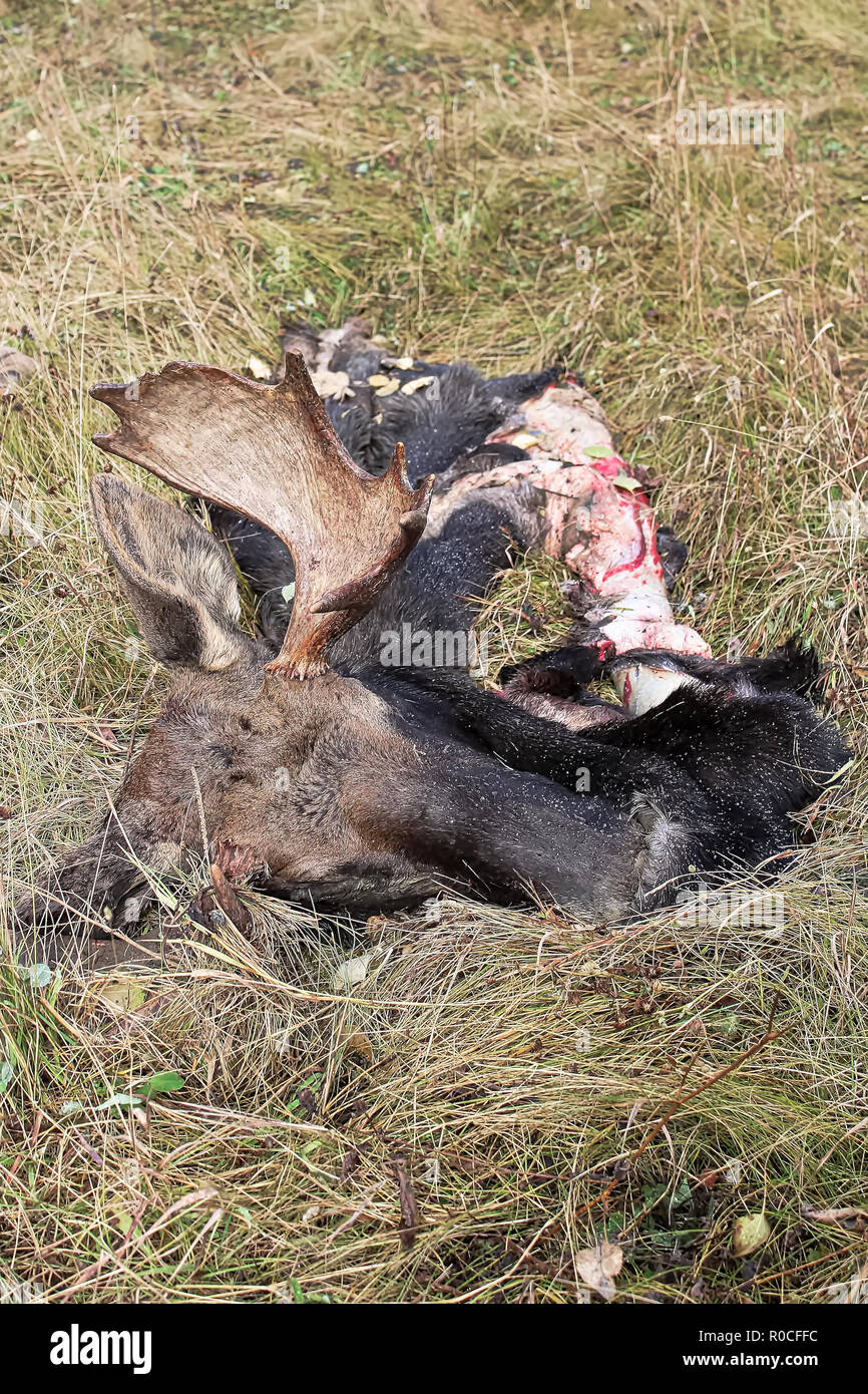 Discarded moose head and hide in the grass - Stock Image
