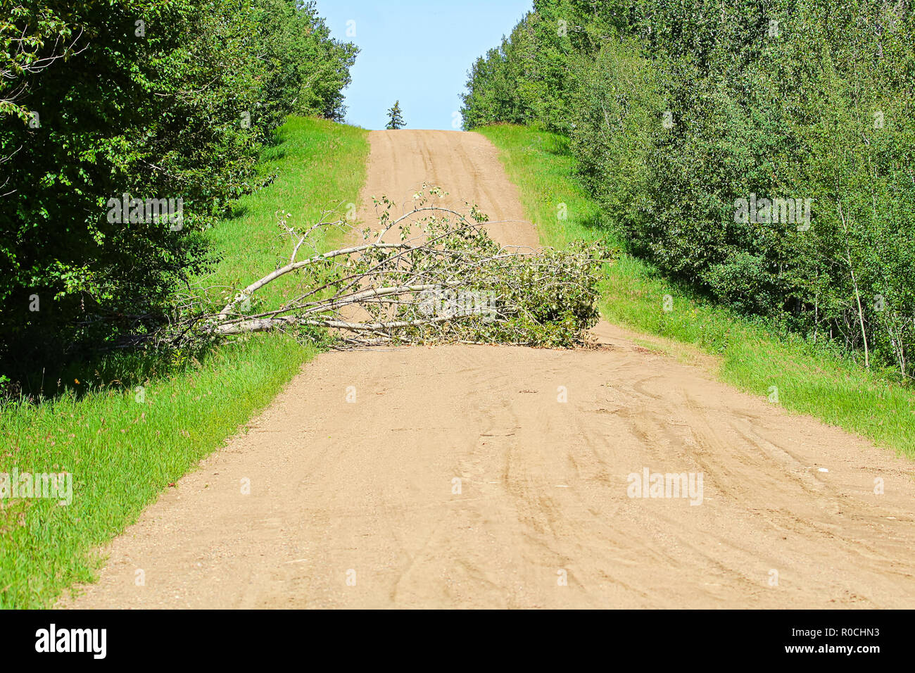 A tree in the middle of the road causing an obstruction - Stock Image