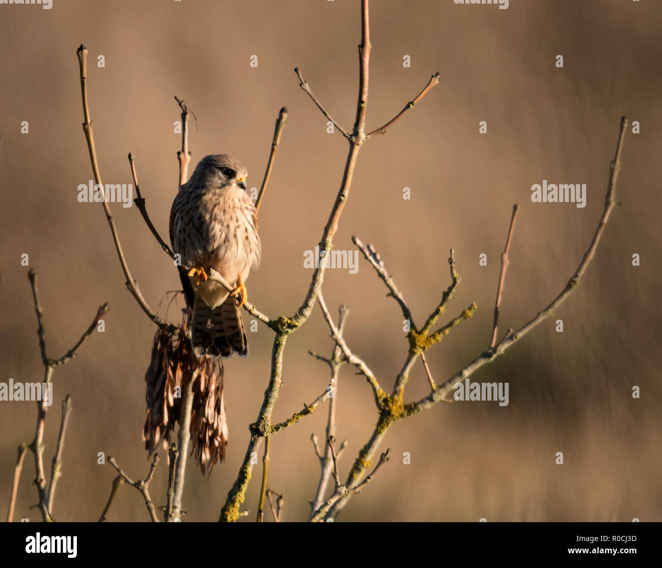 A wild female Kestrel (Falco tinnunculus) perched looking for prey below, Gloucestershire - Stock Image