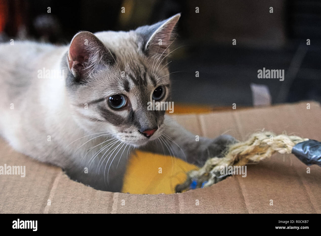 A playful kitten plays with a rope in a cardboard box - Stock Image