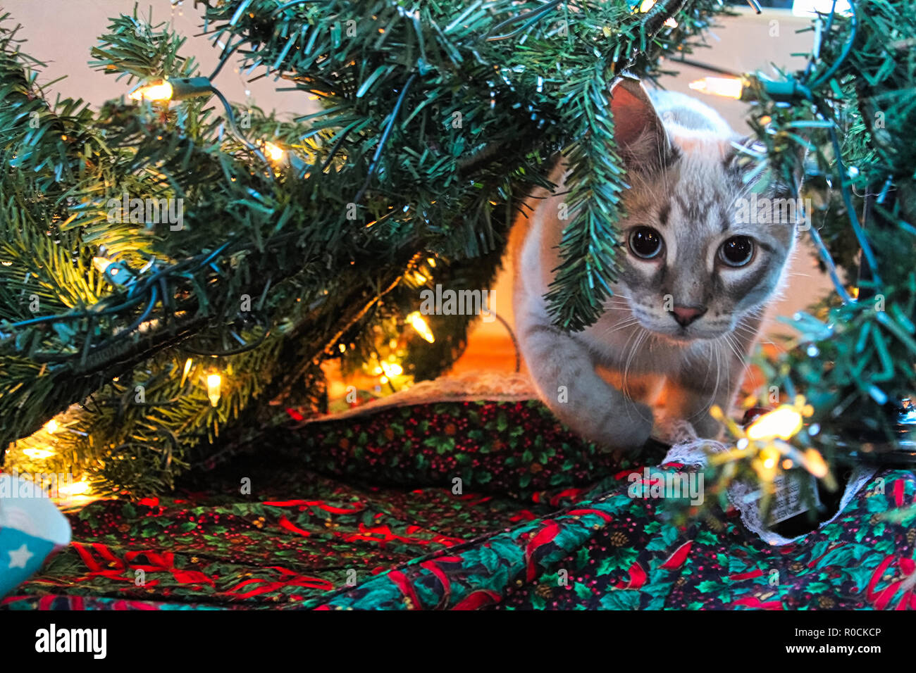 A cat playfully stalks through a Christmas Tree - Stock Image