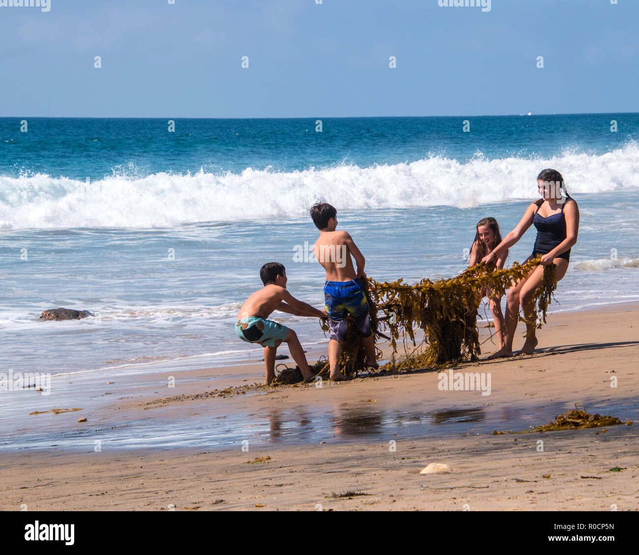Crystal Cove, California - October 8, 2018: Group of children are seen playing on the beach having fun trying to pull apart a large tangle of kelp and - Stock Image