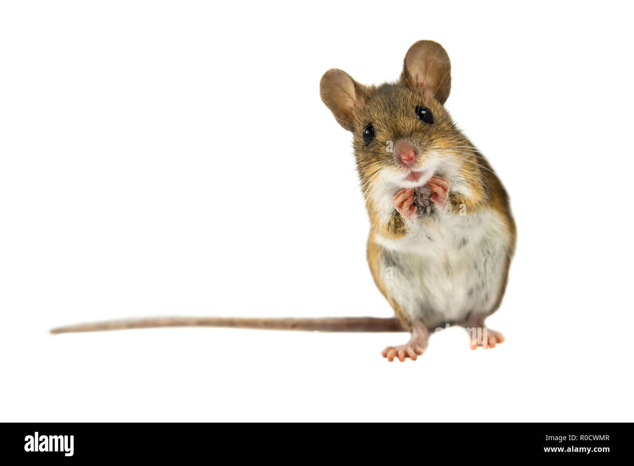 Geeky Wood mouse (Apodemus sylvaticus) with curious cute brown eyes looking in the camera on white background - Stock Image
