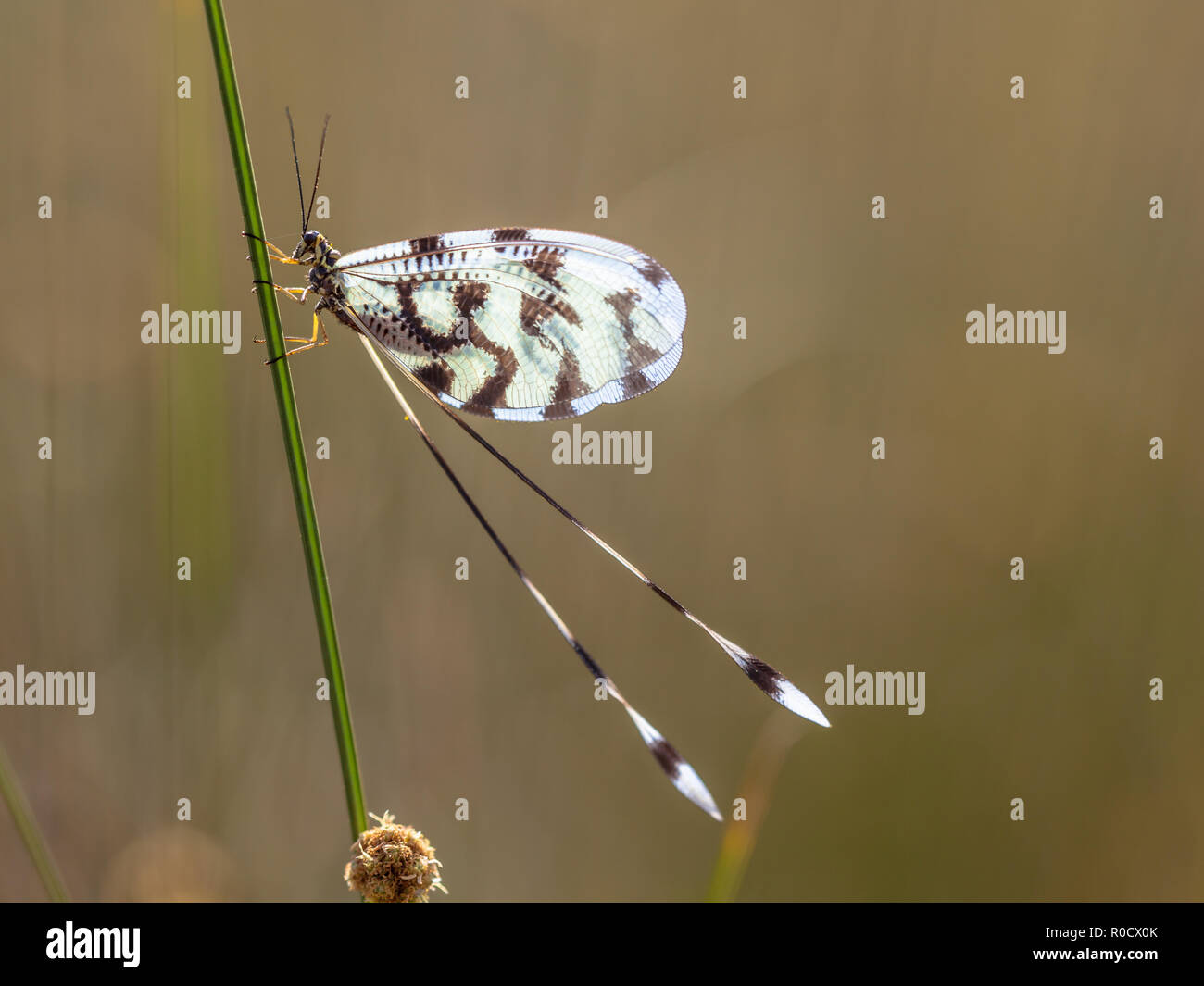 Colorful insect antlion relative Nemoptera is a Palearctic genus of insects of the family Nemopteridae or spoonwings. - Stock Image
