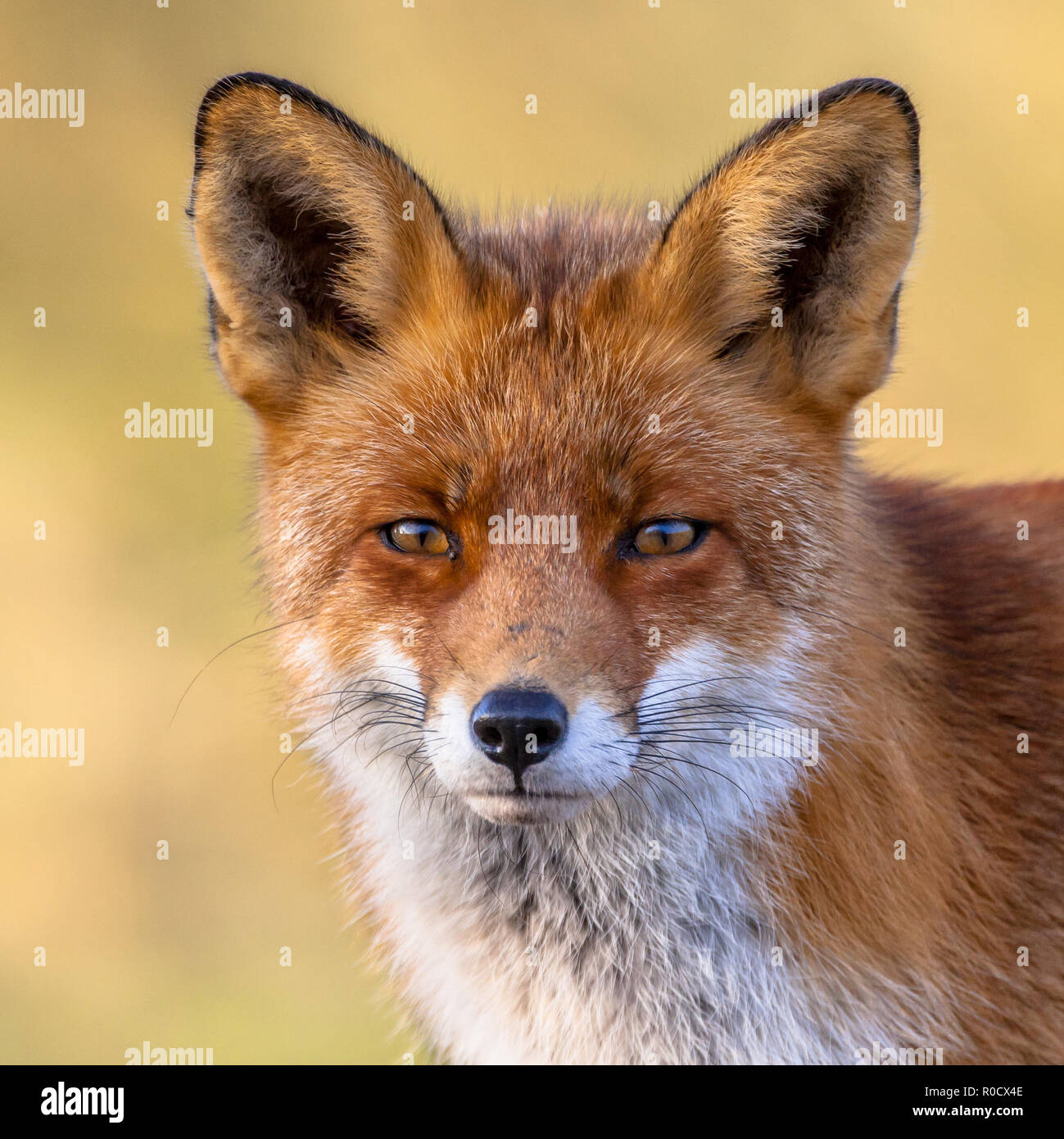 A full resolution portrait of the head of a red fox male (Vulpes vulpes)  in natural environment with yellow background. The beautiful wild animal of  - Stock Image