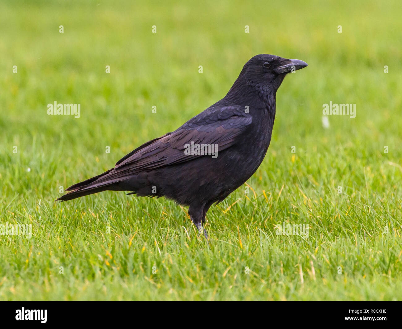 Silhouette Black Crow (Corvus corone) on green field looking forward - Stock Image