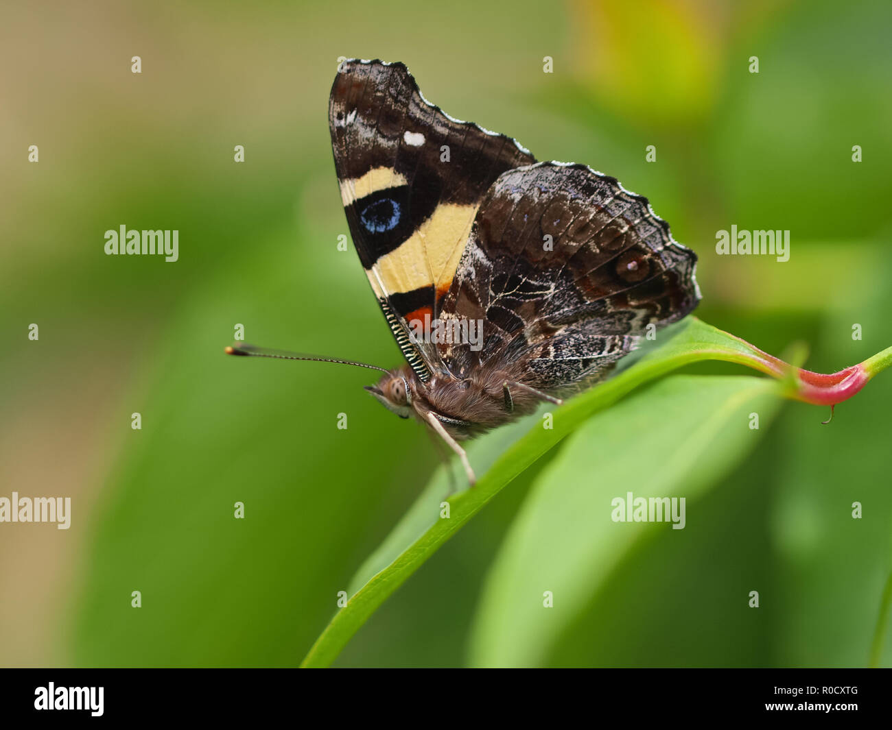 Beautiful Wild Butterfly - Feeding on Flowers - Stock Image