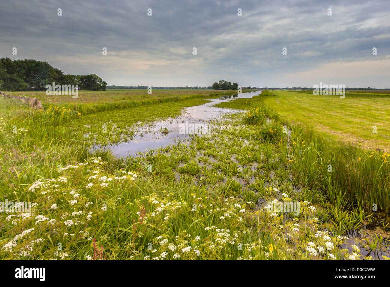 Dutch canal filled by Water Soldier (Stratiotes aloides) also known as Crab's claw. This is the natural habitat of protected rare dragonfly species li Stock Photo