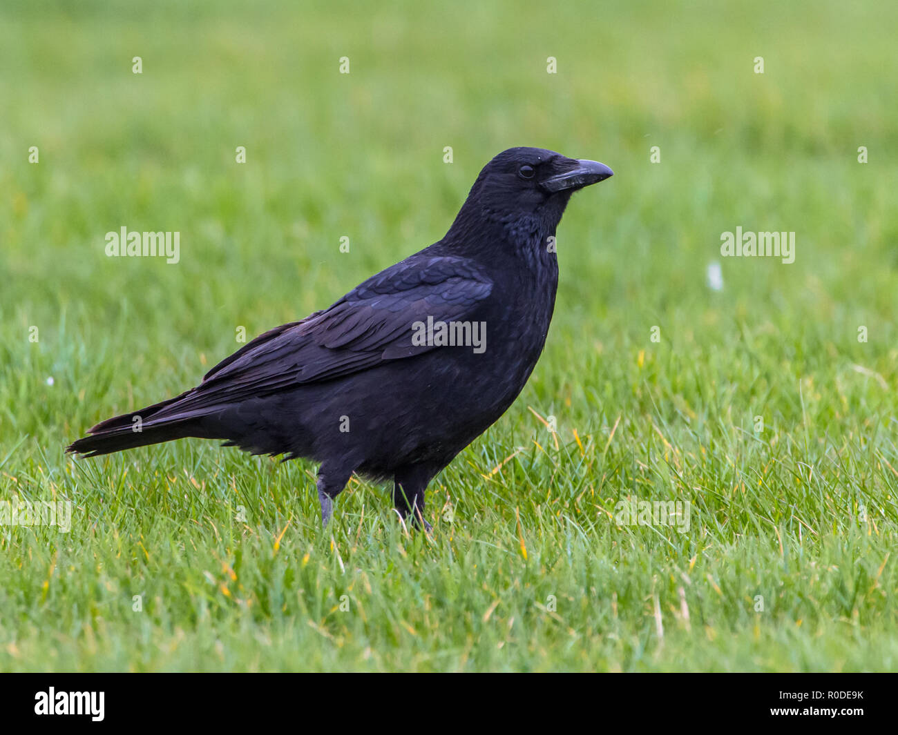 Black Crow (Corvus corone) standing on green field looking in camera - Stock Image