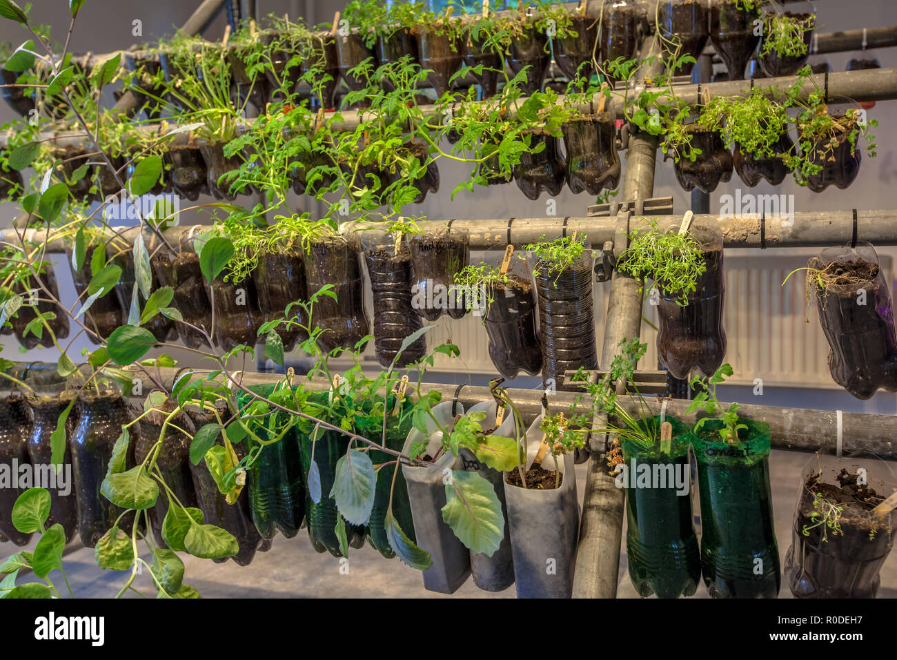 Hanging baskets vegetable garden made of plastic bottles inside a home - Stock Image