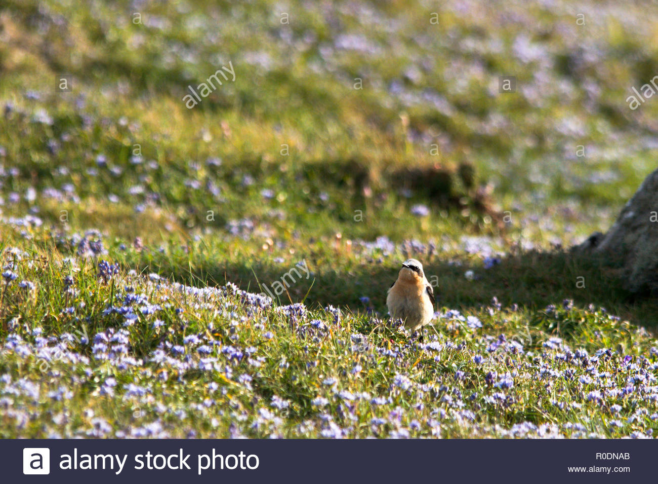 Male Wheater (Oenanthe oenanthe) standing amongst Spring squill (Scilla  verna) on coastline near St Just; Cornwall; United Kingdom - Stock Image