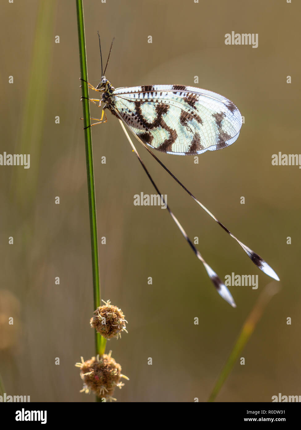 Antlion relative Nemoptera is a Palearctic genus of insects of the family Nemopteridae or spoonwings. - Stock Image