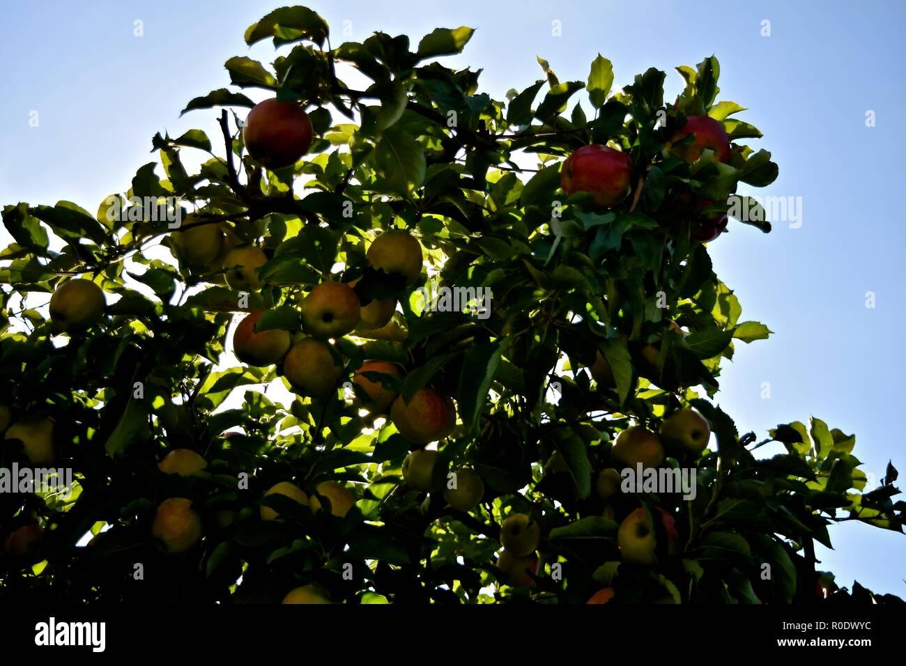 Autumn harvest season for Washington Apples still on the trees. - Stock Image