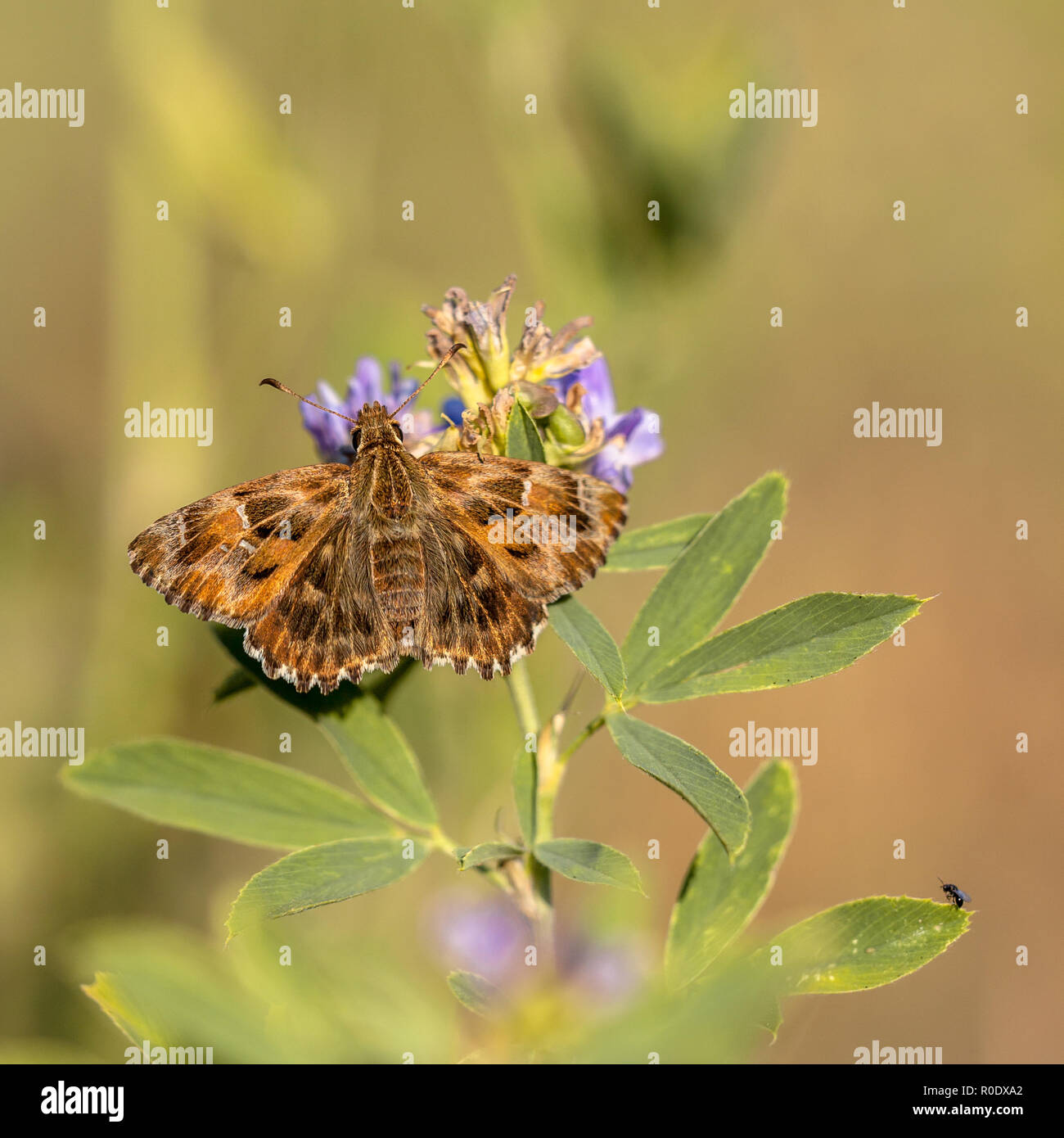 The Mallow Skipper (Carcharodus alceae) is a butterfly of the family Hesperiidae. It is found in Southern and Central Europe, northern Africa, and in  - Stock Image