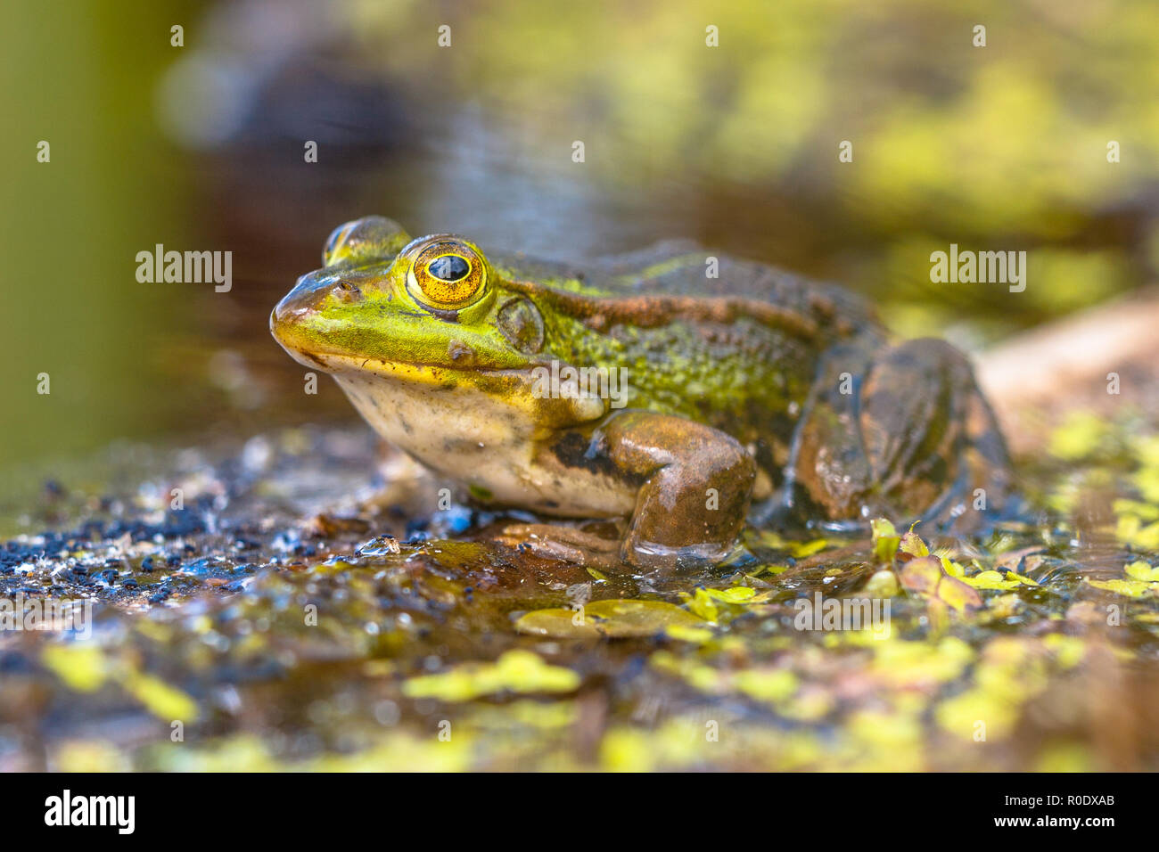 Edible Green Frog (Pelophylax kl. esculentus) on the bank of a pond in Natural Habitat - Stock Image