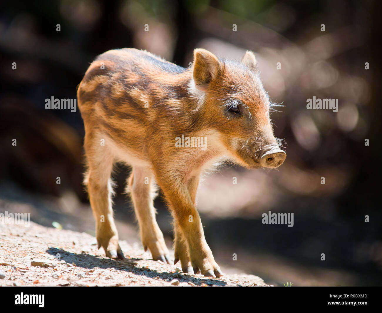 Young Wild Boar (Sus scrofa) is walking in the sun - Stock Image