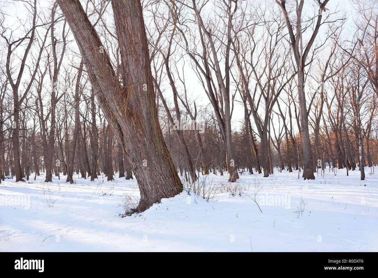Trees in a snowy park. In the foreground a trunk of an old tree with dried lianas on it - Stock Image