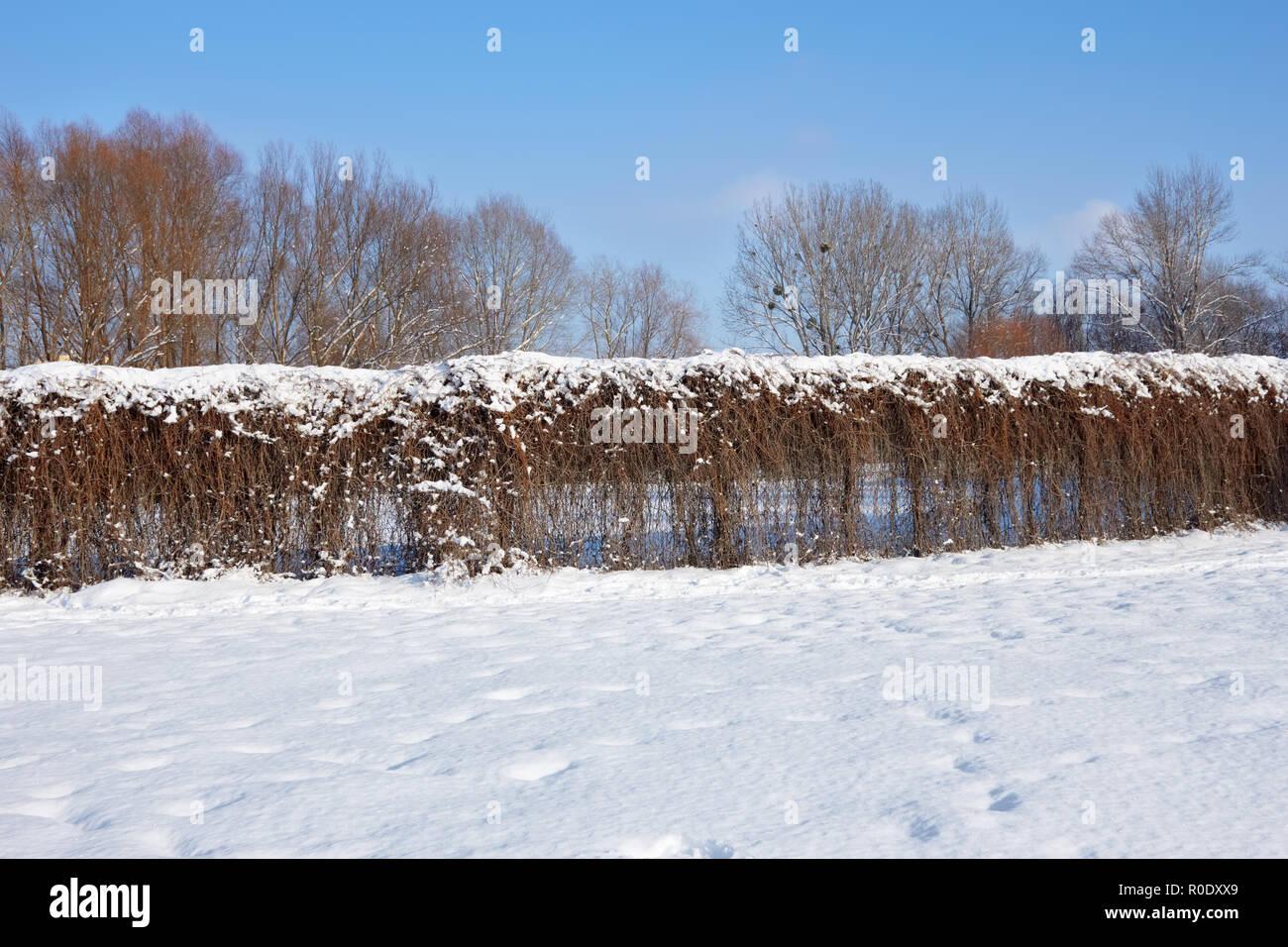 Living fence of dried lianas plants in winter park. Khmelnytsky, Ukraine - Stock Image