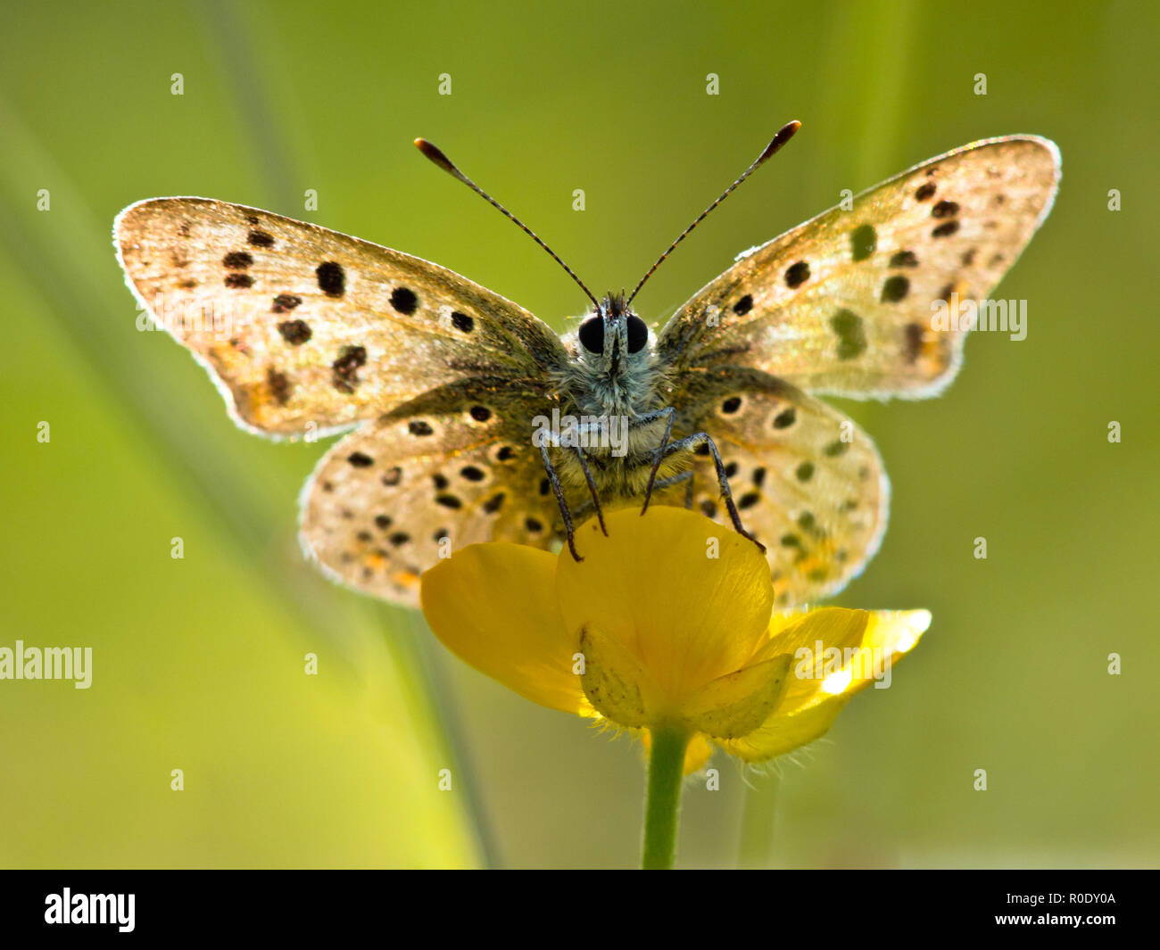 Sun Shines through Wings of Sooty Copper Butterfly (Lycaena tityrus) Basking in the Sun - Stock Image