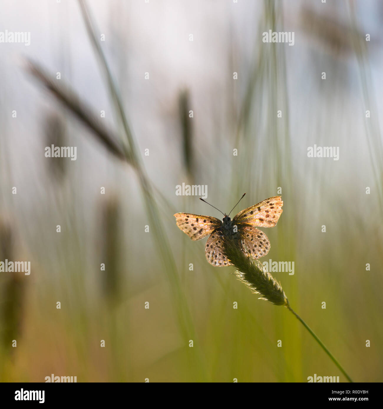 Sun Shines through Wings of Sooty Copper Butterfly (Lycaena tityrus) in a Field of Grass - Stock Image