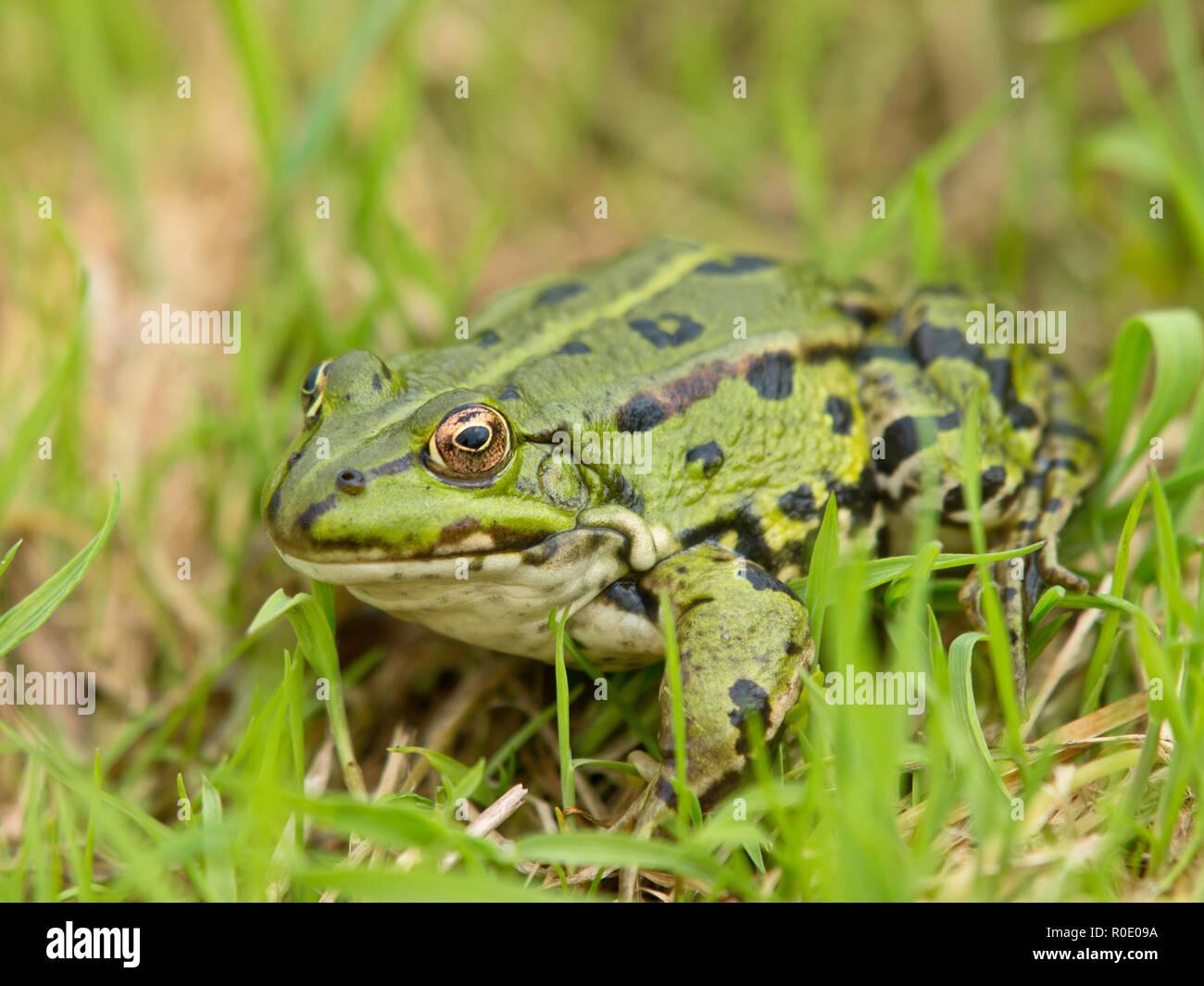 Edible Frog (Pelophylax kl. esculentus) sitting in grass - Stock Image