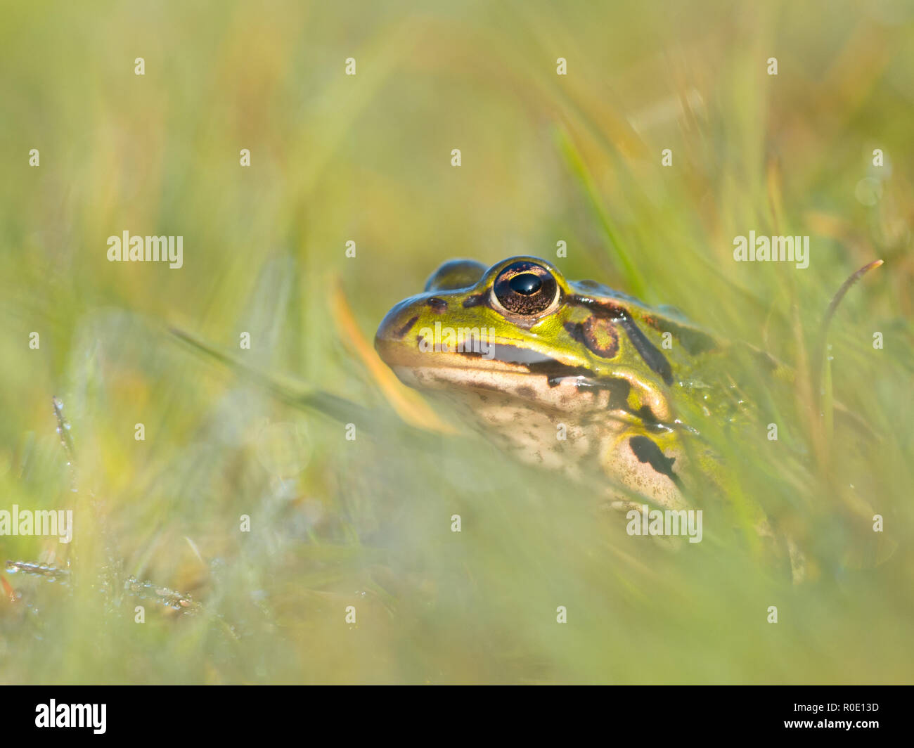 Edible frog (Pelophylax esculentus) is peeking from grass with morning dew - Stock Image