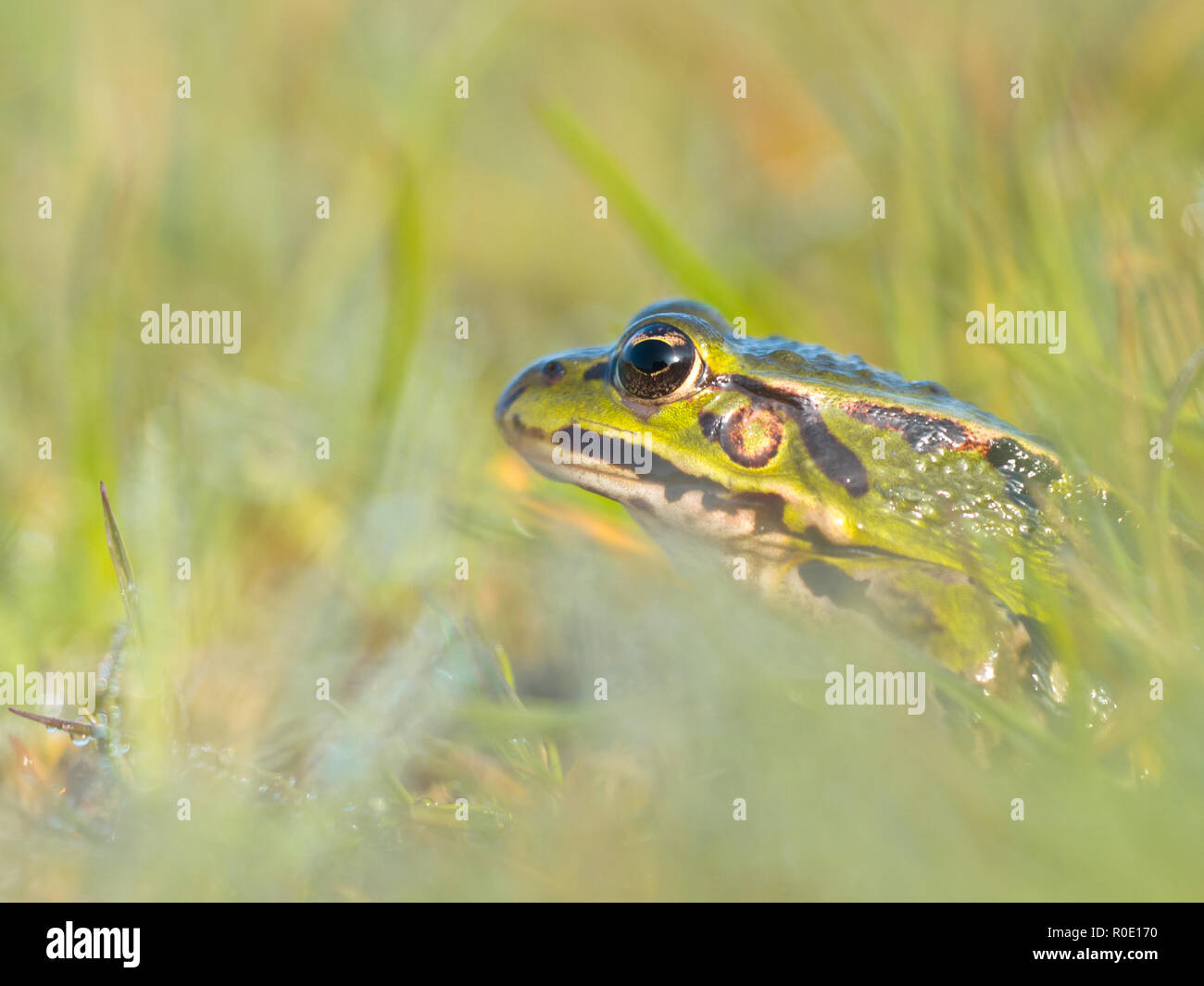 Green frog is hiding in grass with morning dew - Stock Image