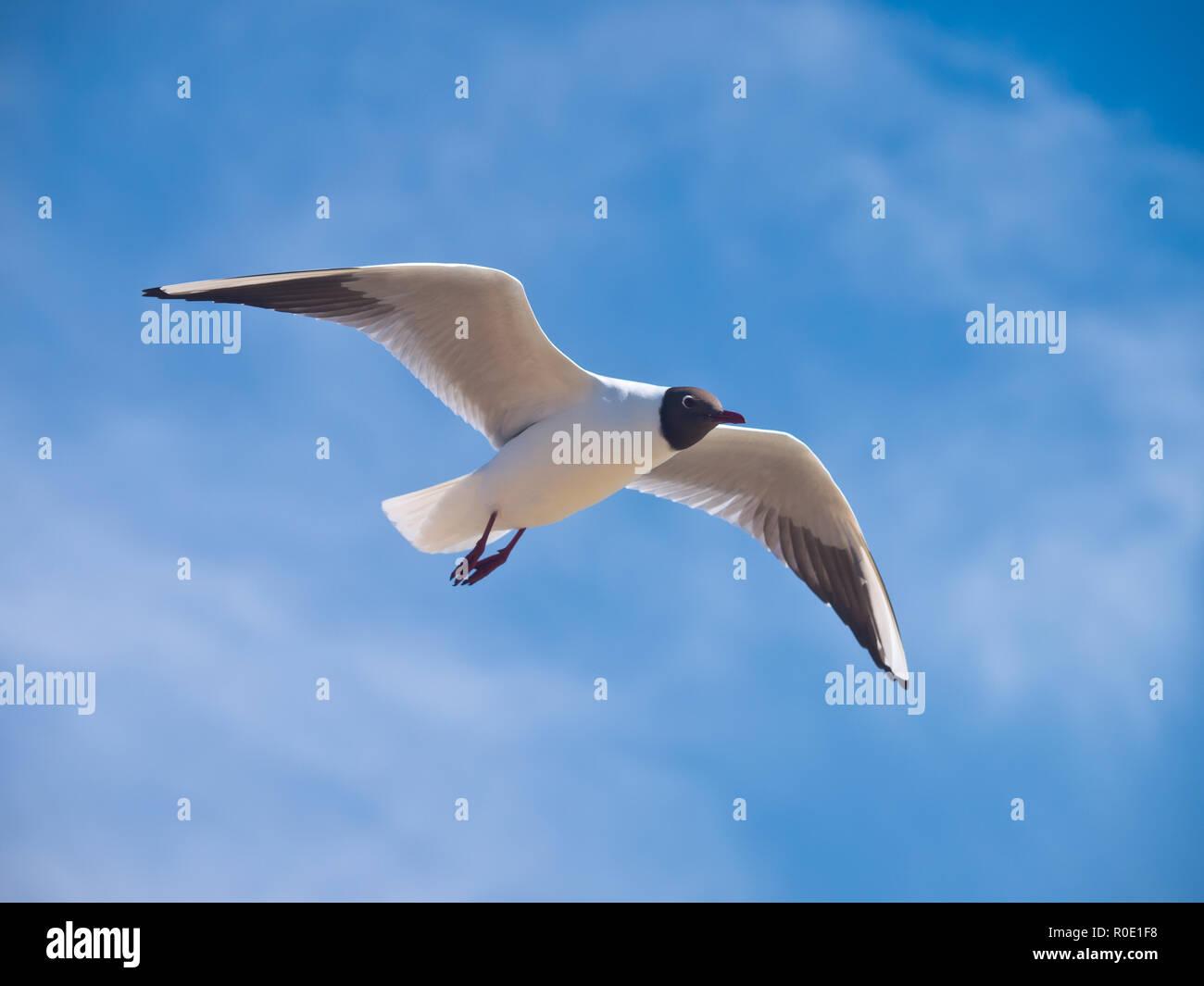 Een kokmeeuw zweeft op de wind tegen een blauwe lucht Stock Photo