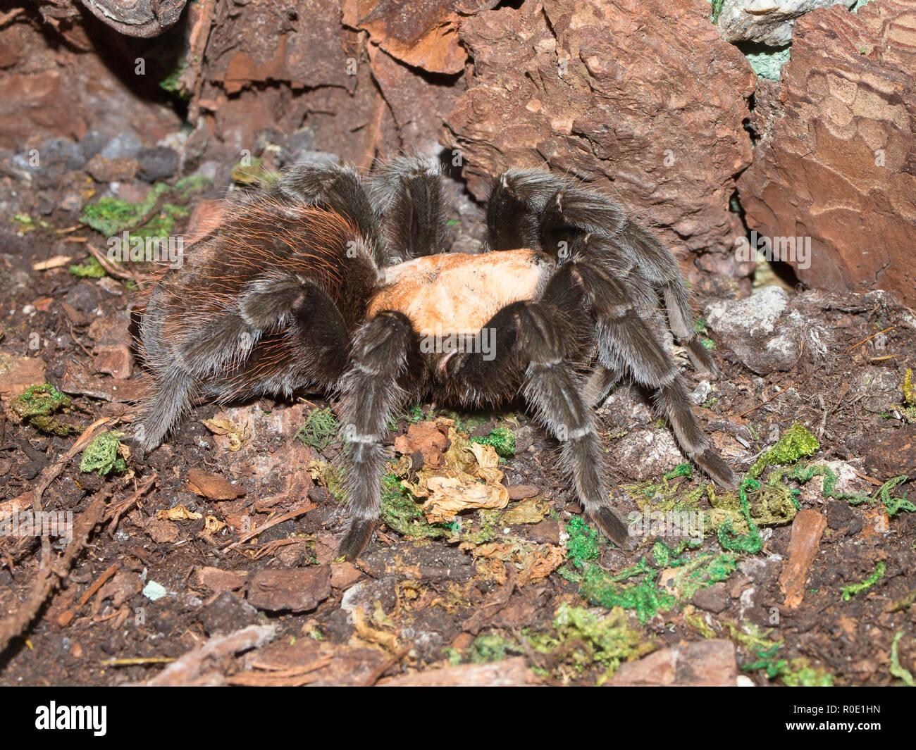 Tarantula Spider Brachypelma Albiceps In A Terrarium Stock Photo Alamy