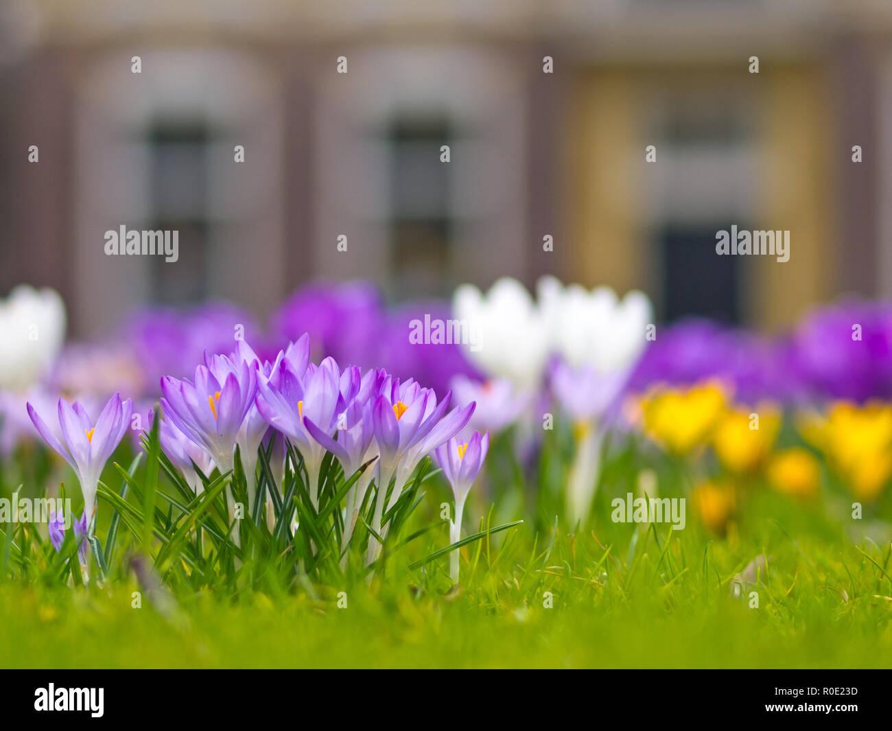 Een groepje lila krokussen in een onscherp voorjaarsveld - Stock Image