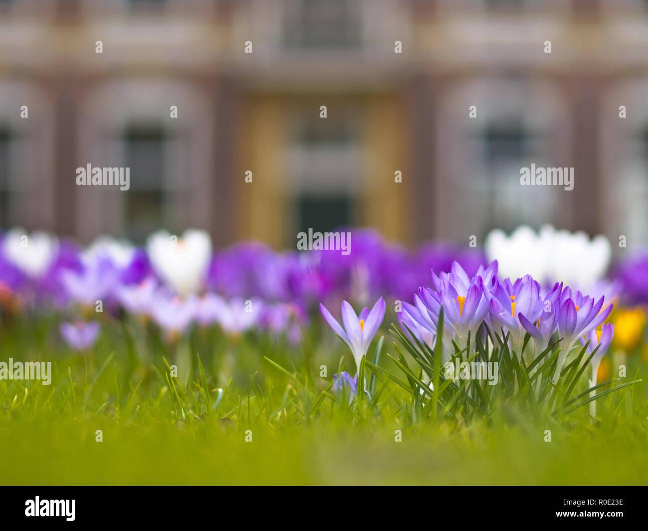 Bloeiende lila krokussen voor een historisch gebouw - Stock Image