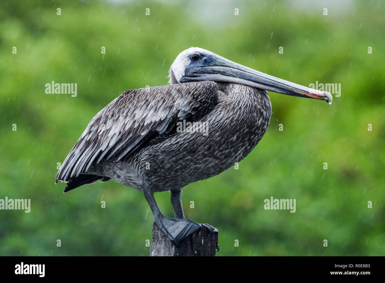 Drenched brown pelican looking unimpressed in heavy rain in Mexico's Sian Ka'an Biosphere Reserve Stock Photo